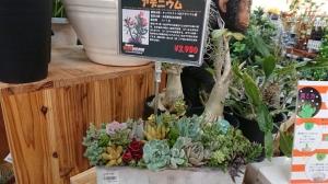 ビバホームの店頭には多肉植物がいっぱい
