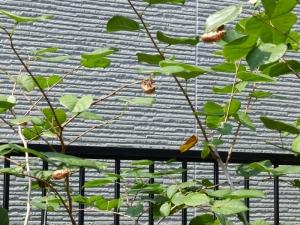うちの庭木でもセミの羽化が・・・・